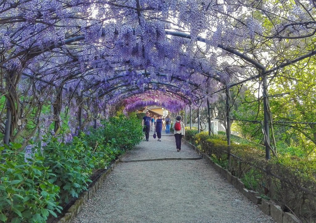 Wisteria In Bloom At The Bardini Gardens Spring In Florence